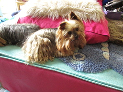 Shadow, chien Yorkshire Terrier