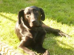 Shadow, chien Braque de Weimar