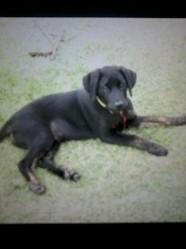 Shadow, chien Labrador Retriever