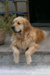 Shadow, chien Golden Retriever