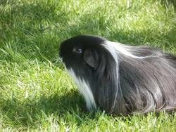 Shadow, rongeur Cochon d'Inde