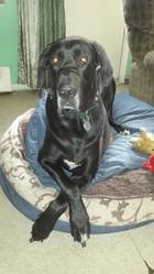Shadow, chien Dogue allemand