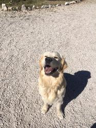 Shadow, chien Golden Retriever