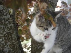 Shafir, chat Gouttière