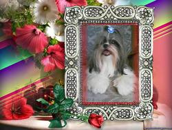Shaggy, chien Shih Tzu