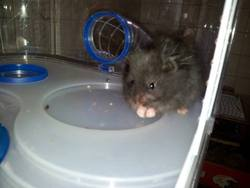 Shaggy, rongeur Hamster