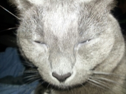 Shaggy, chat Chartreux