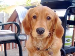 Shaila, chien Golden Retriever