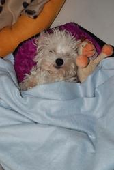 Shailoh, chien Coton de Tuléar