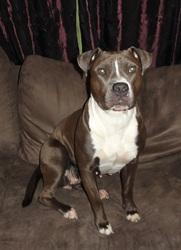 Shaina, chien American Staffordshire Terrier
