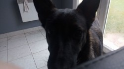 Shaka, chien Berger belge
