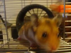 Shakespeare, rongeur Hamster