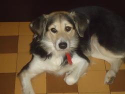 Shakira, chien Border Collie