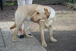 Shakira, chien Labrador Retriever