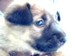 Shalom, chien Berger belge
