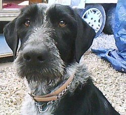 Shalya, chien Braque allemand à poil dur