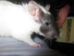 Shamabala, rongeur Rat