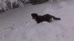 Shaman, chien Berger australien