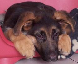Shaman, chien Berger allemand