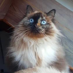 Chamballa, chat Européen