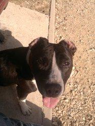 Shana, chien Staffordshire Bull Terrier
