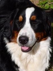 Shana, chien Bouvier bernois