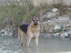 Shana, chien Berger allemand