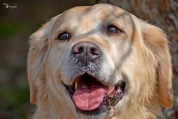 Shana, chien Golden Retriever