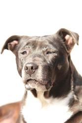 Shana, chien American Staffordshire Terrier