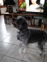 Shana, chien Bearded Collie