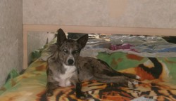 Shana, chien
