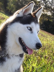 Shanak, chien Husky sibérien