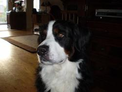 Shanel, chien Bouvier bernois