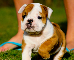 Shaney, chien Bulldog