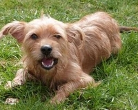 Shania, chien Yorkshire Terrier