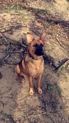Shanka, chien Berger allemand