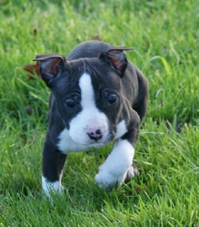 Shanks, chien American Staffordshire Terrier