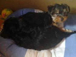 Shanna, chien Yorkshire Terrier