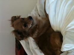 Shanna, chien Chihuahua