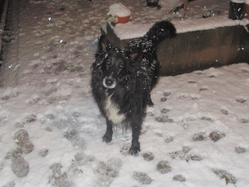 Shanna, chien Border Collie