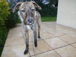 Shanna Dite Osannah, chien Français tricolore