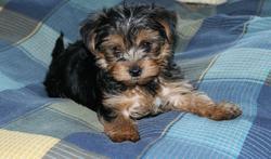 Shannel, chien Yorkshire Terrier