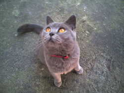 Shannon, chat British Shorthair