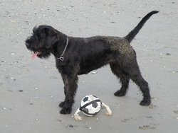 Shanti, chien Schnauzer