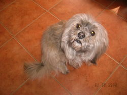 Shany, chien Lhassa Apso