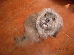 Shany, chien Lhassa Apso