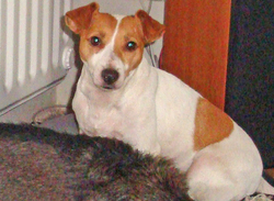 Shany, chien Jack Russell Terrier