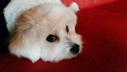 Shany, chien Bichon maltais