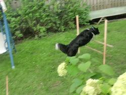 Sharlie, chien Border Collie