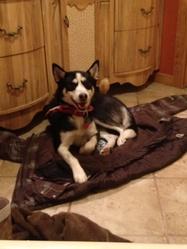 Shaska, chien Husky sibérien